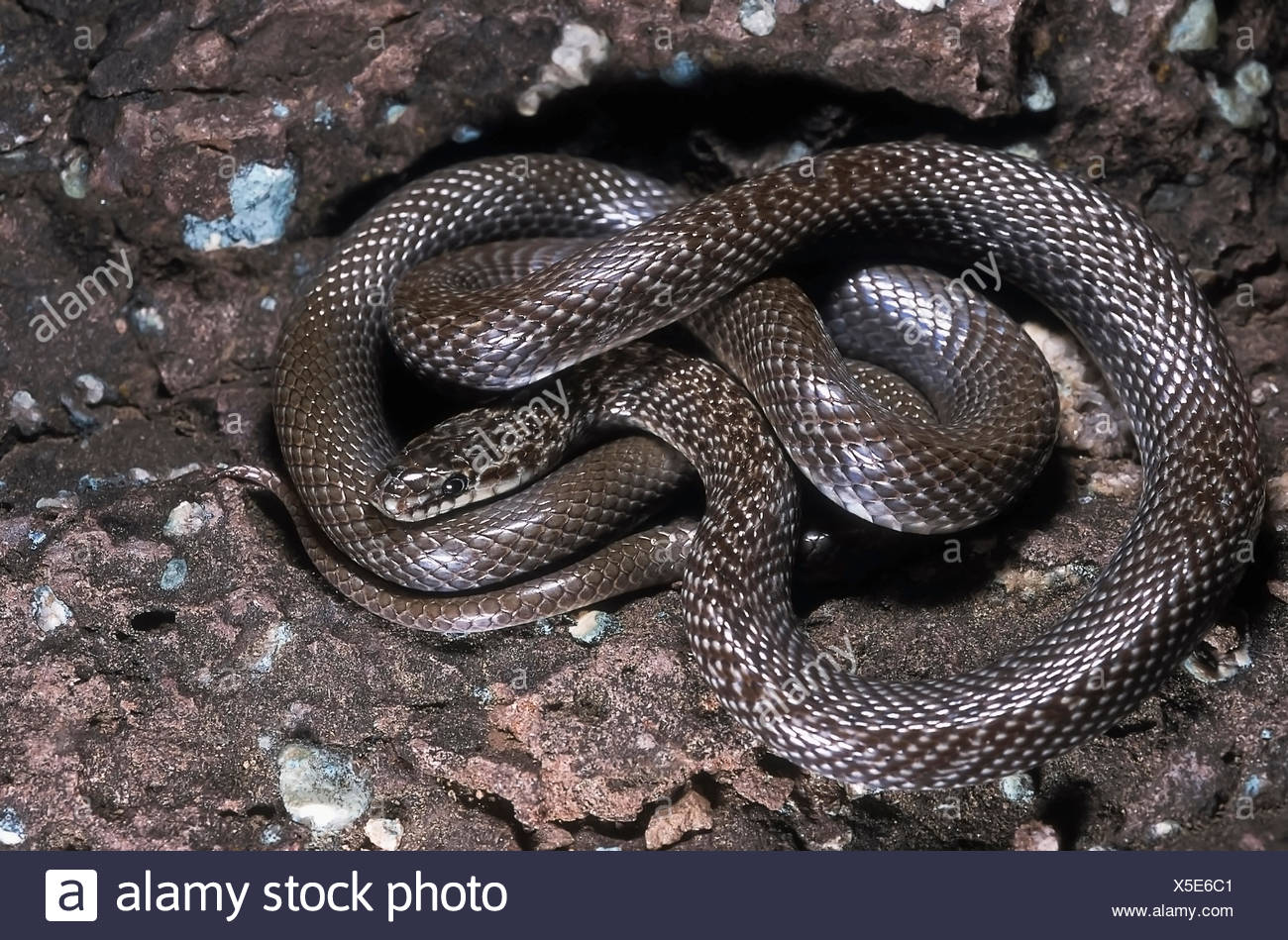 INDIAN SMOOTH SNAKE Coronella brachyura. Specimen from Maharashtra, India. - Stock Image