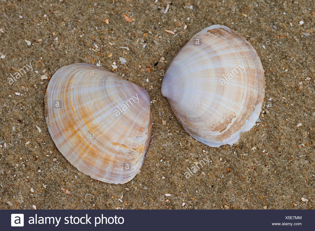 White trough clam, Rayed trough shell, Rayed trough-shell (Mactra corallina, Mactra stultorum, Mactra cinerea), shell on the beach, Germany - Stock Image