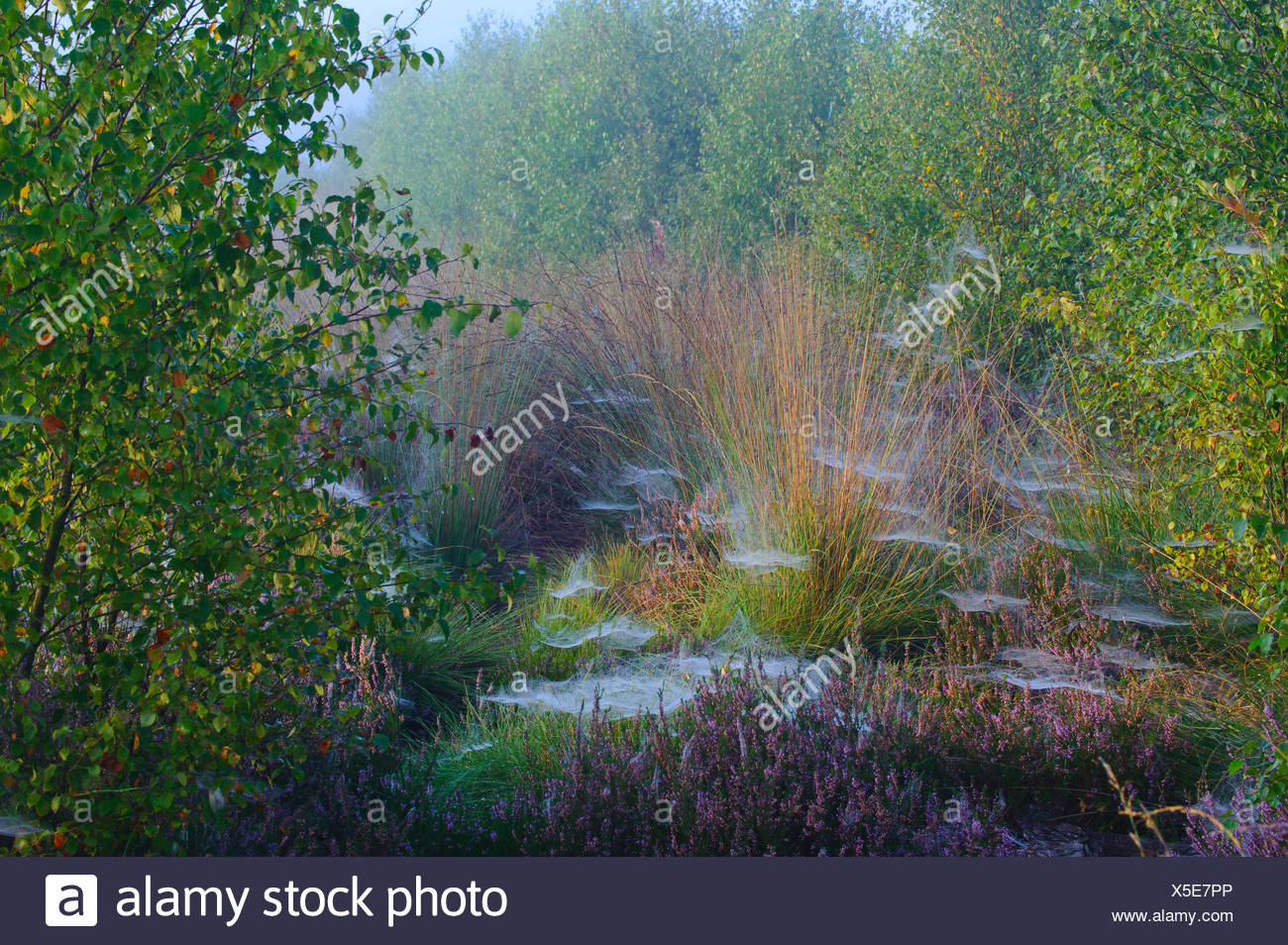 spider webs in birches and rushes, Germany, Lower Saxony - Stock Image