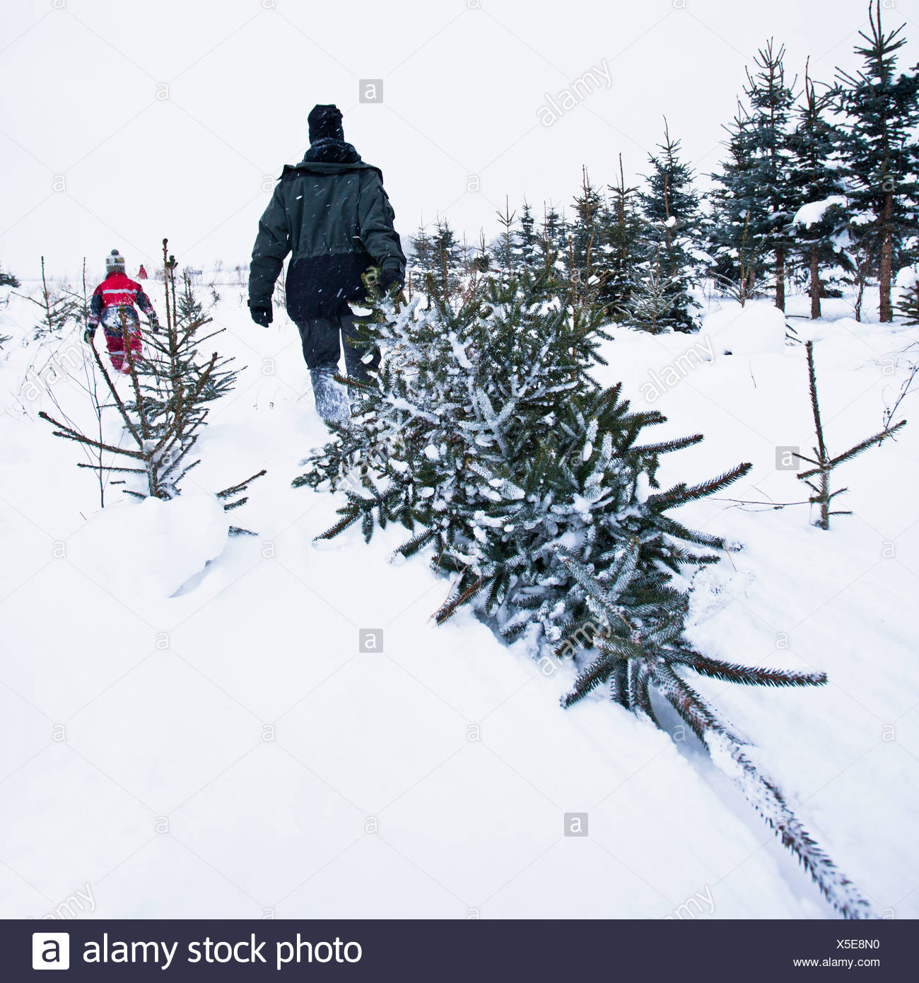 Person pulling Christmas tree Stock Photo