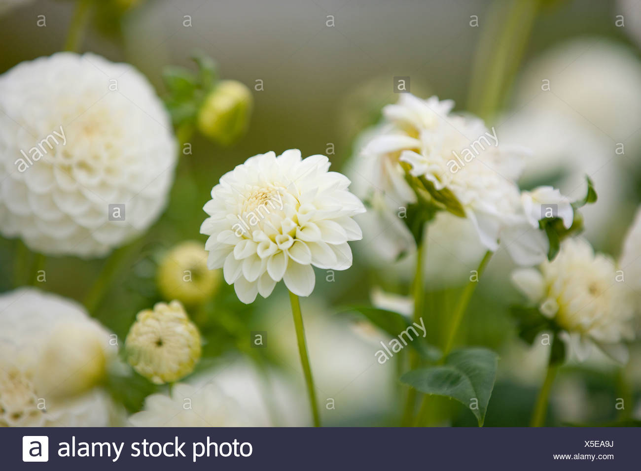 White dahlia flowers in bloom stock photo 278754606 alamy white dahlia flowers in bloom izmirmasajfo
