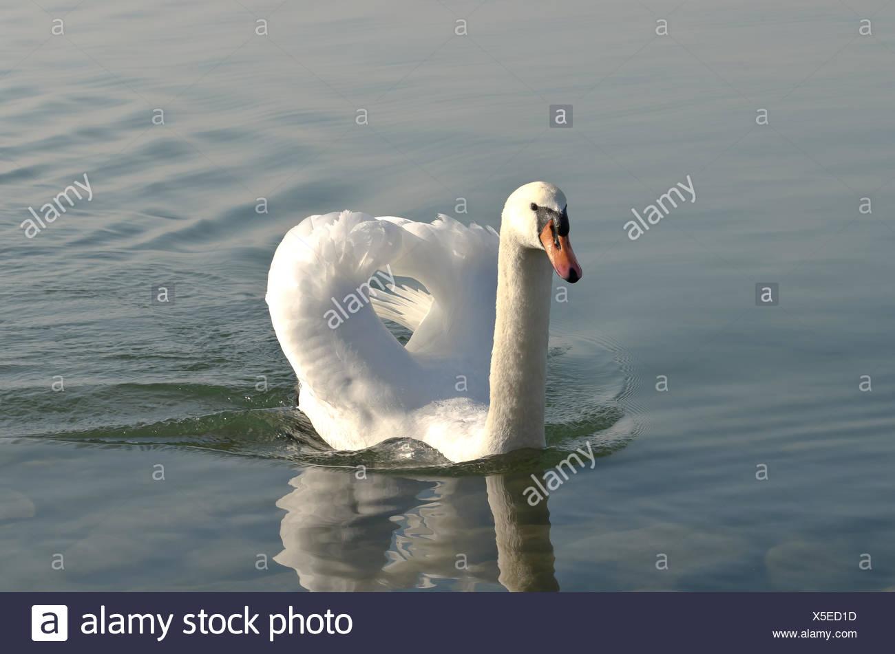swan lake constance beak fresh water lake inland water water beaks swimming swiming swim swims to do the crawl herzig - Stock Image