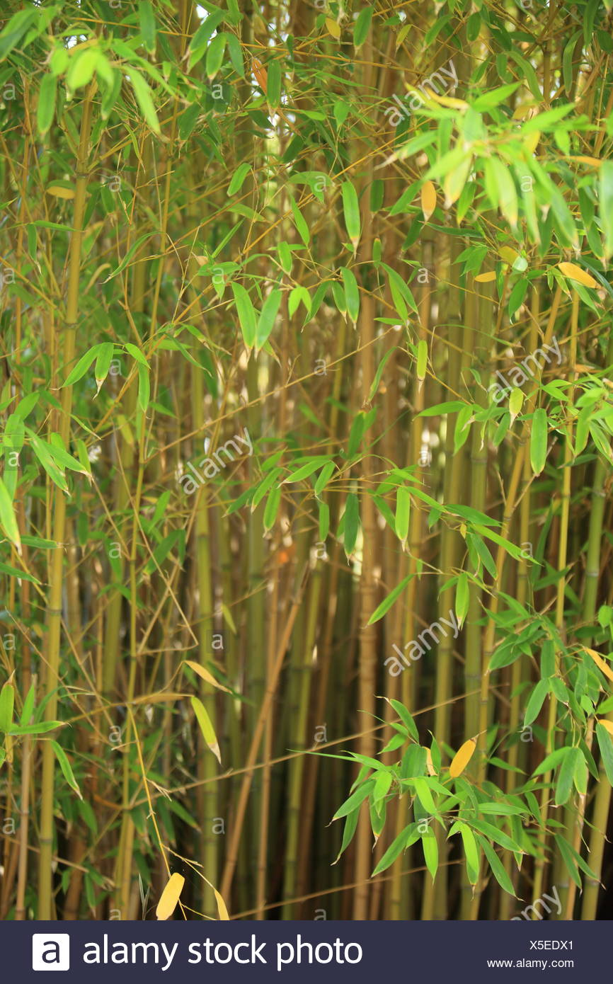 Stand of ornamental bamboo - Stock Image