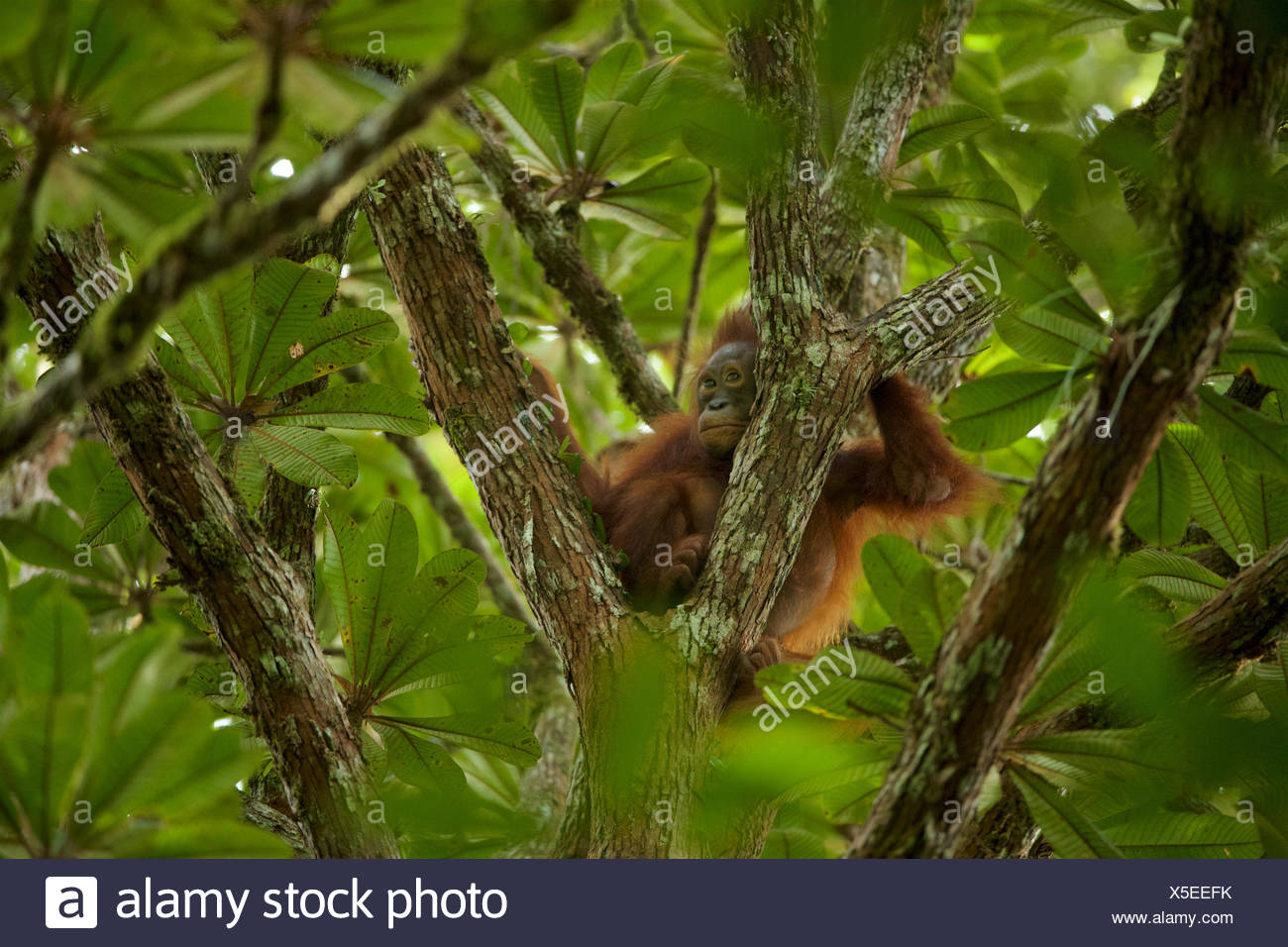 A juvenile orangutan, Pongo pygmaeus wurmbii, rests in a tree in Gunung Palung National Park. - Stock Image