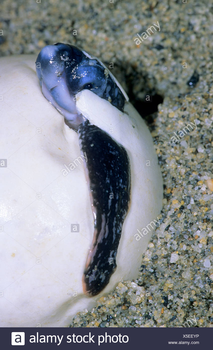 Hatchling leatherback sea turtle (Dermochelys coriacea) breaking out of its eggshell, Trinidad. - Stock Image