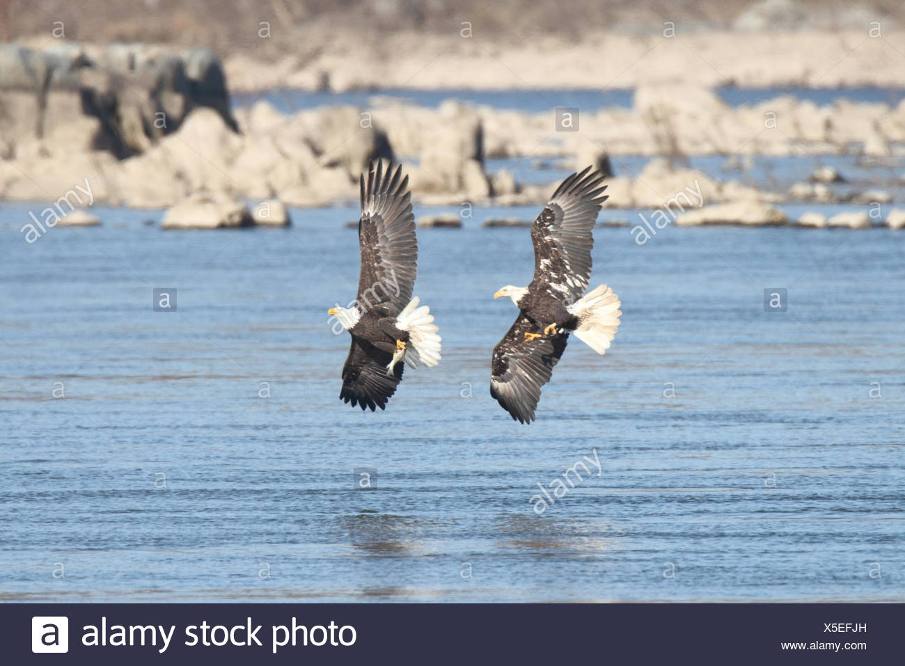 Pair of majestic Bald Eagles (haliaeetus leucocephalus) in flight fighting for a fish Stock Photo