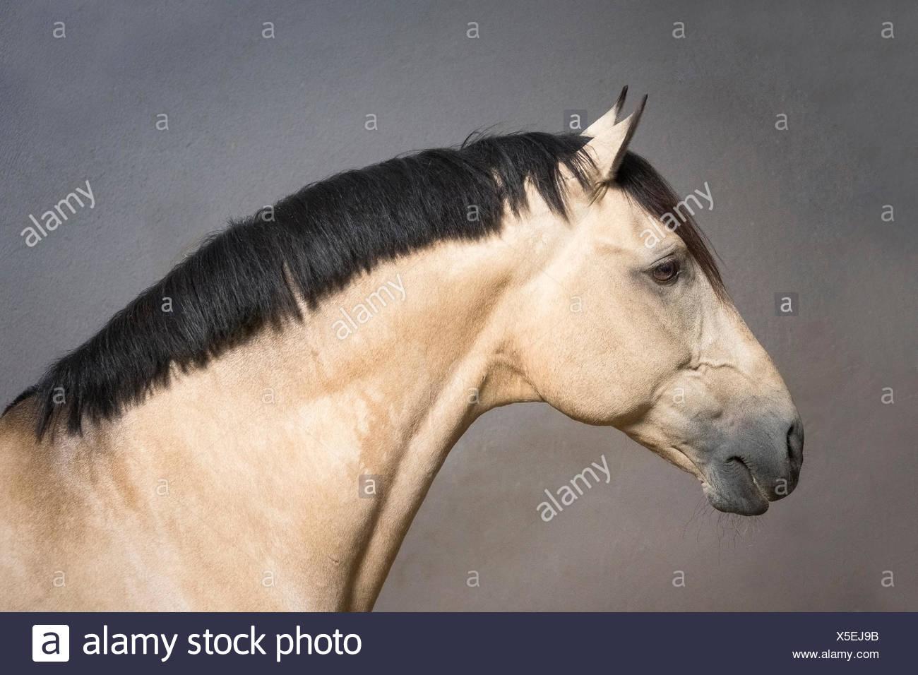 Lusitano. Portrait of dun stallion. Portugal - Stock Image