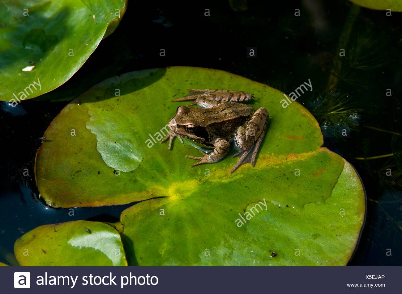 Frog On Lily Pad In Thetford Stock Photo Alamy