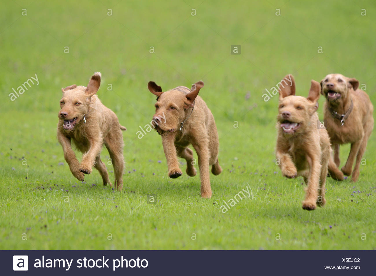 two Wirehaired Magyar Vizsla dogs - running on meadow - Stock Image