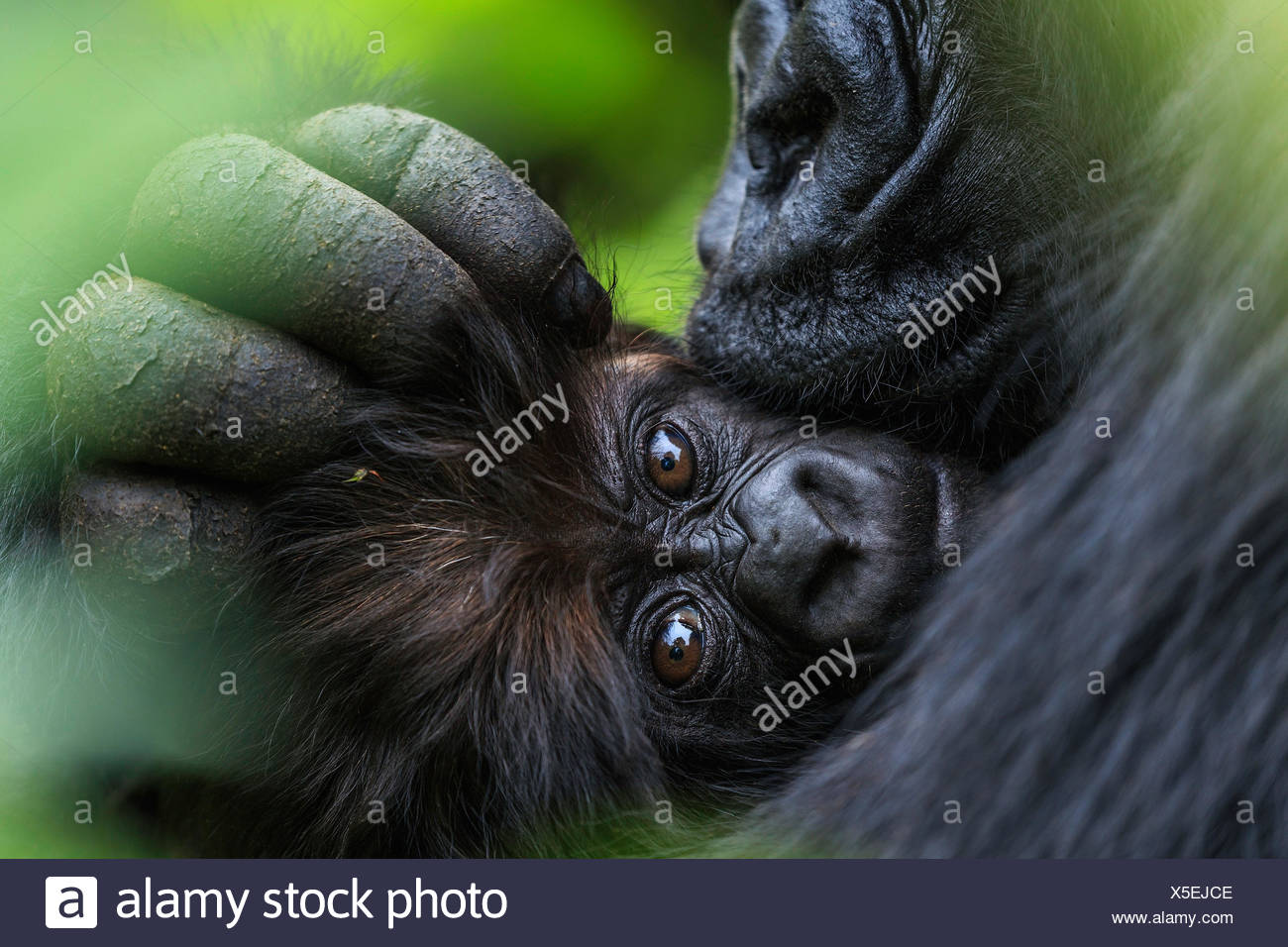 A mountain gorilla mother cuddles her three-month-old infant. Stock Photo