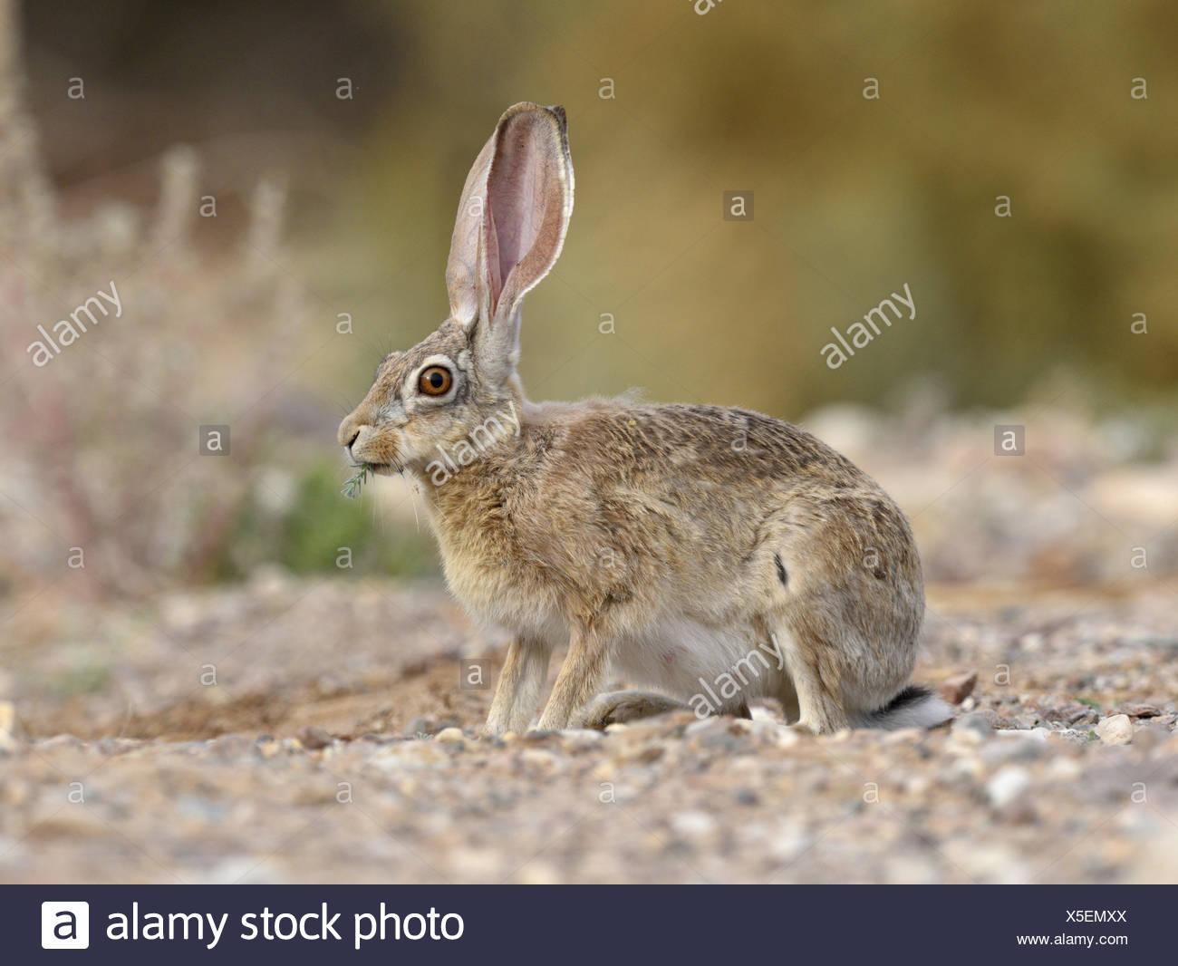 Cape Hare - Lepus capensis - Stock Image