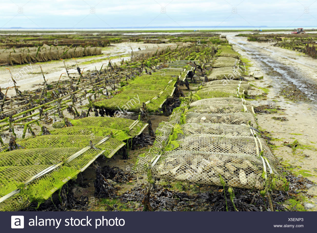 Oyster farming at Cancale, France Stock Photo