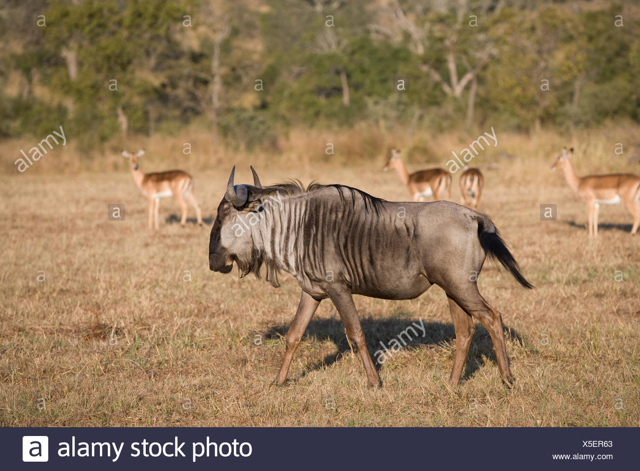 Wilderbeast and impalas in African Bush, South Africa - Stock Image