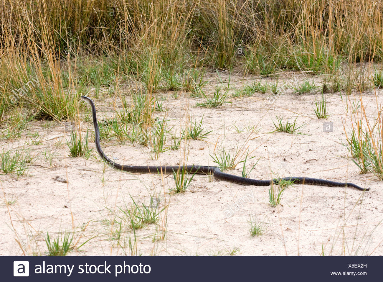 black mamba (Dendroaspis polylepis), on the feed on shore of a river, Namibia, Sambesi River - Stock Image