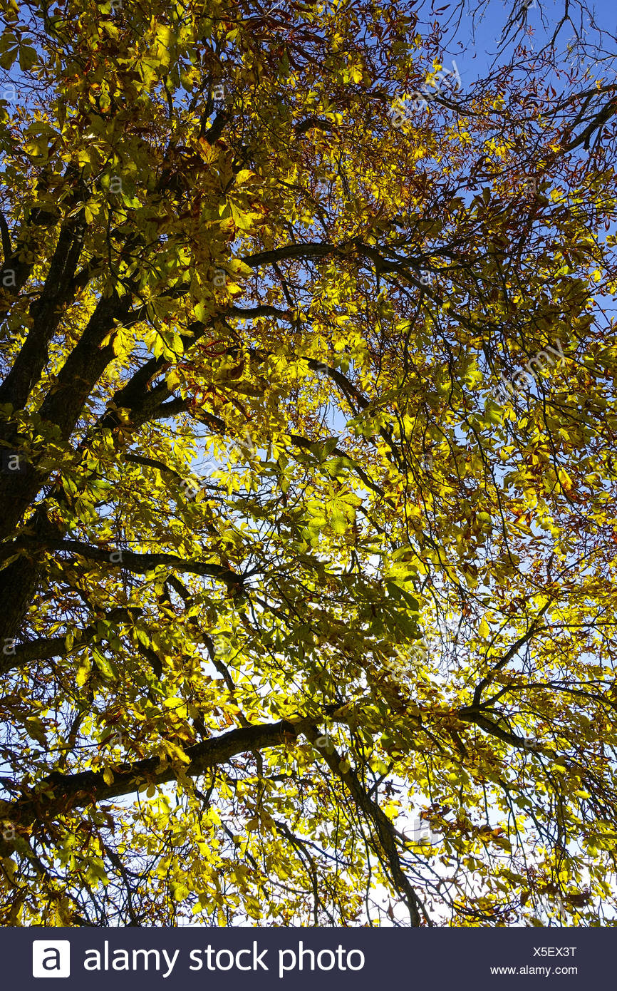 Kastanienbaum im Herbst mit Sonnenstrahlen, Chestnut tree in autumn with sunrays, chestnut, horse chestnut, chestnut tree, chest - Stock Image