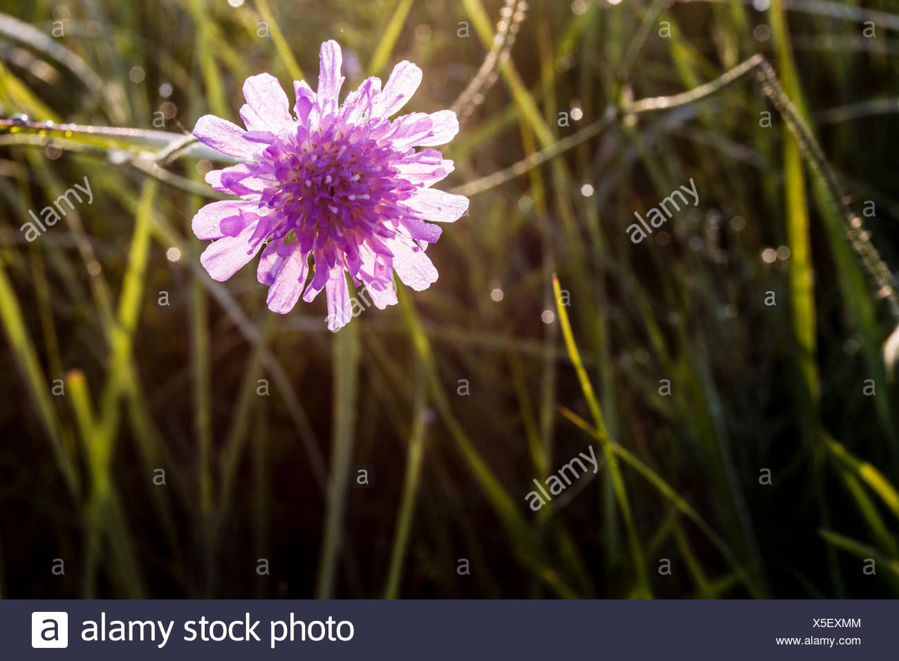 widow flower shines in the back light - Stock Image