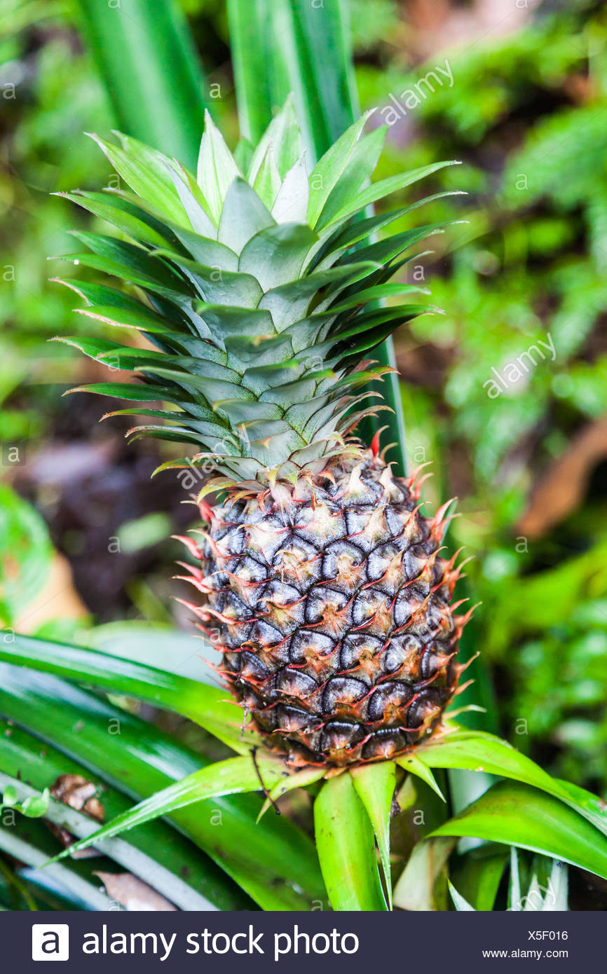 Pineapple plants in India. - Stock Image