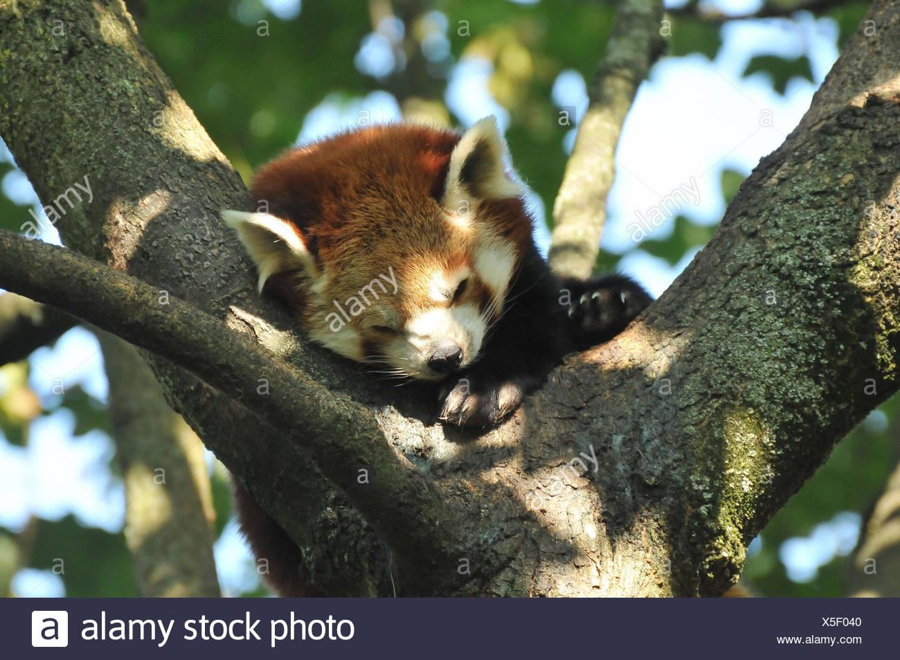 Small panda, tree, sleep, - Stock Image