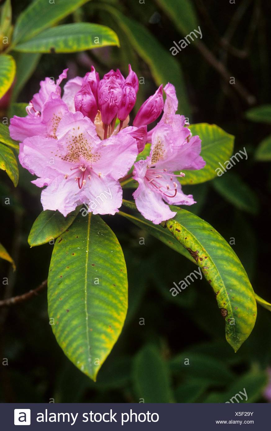 Pacific rhododendron (Rhododendron macrophyllum), Oregon Dunes National Recreation Area, Oregon. - Stock Image