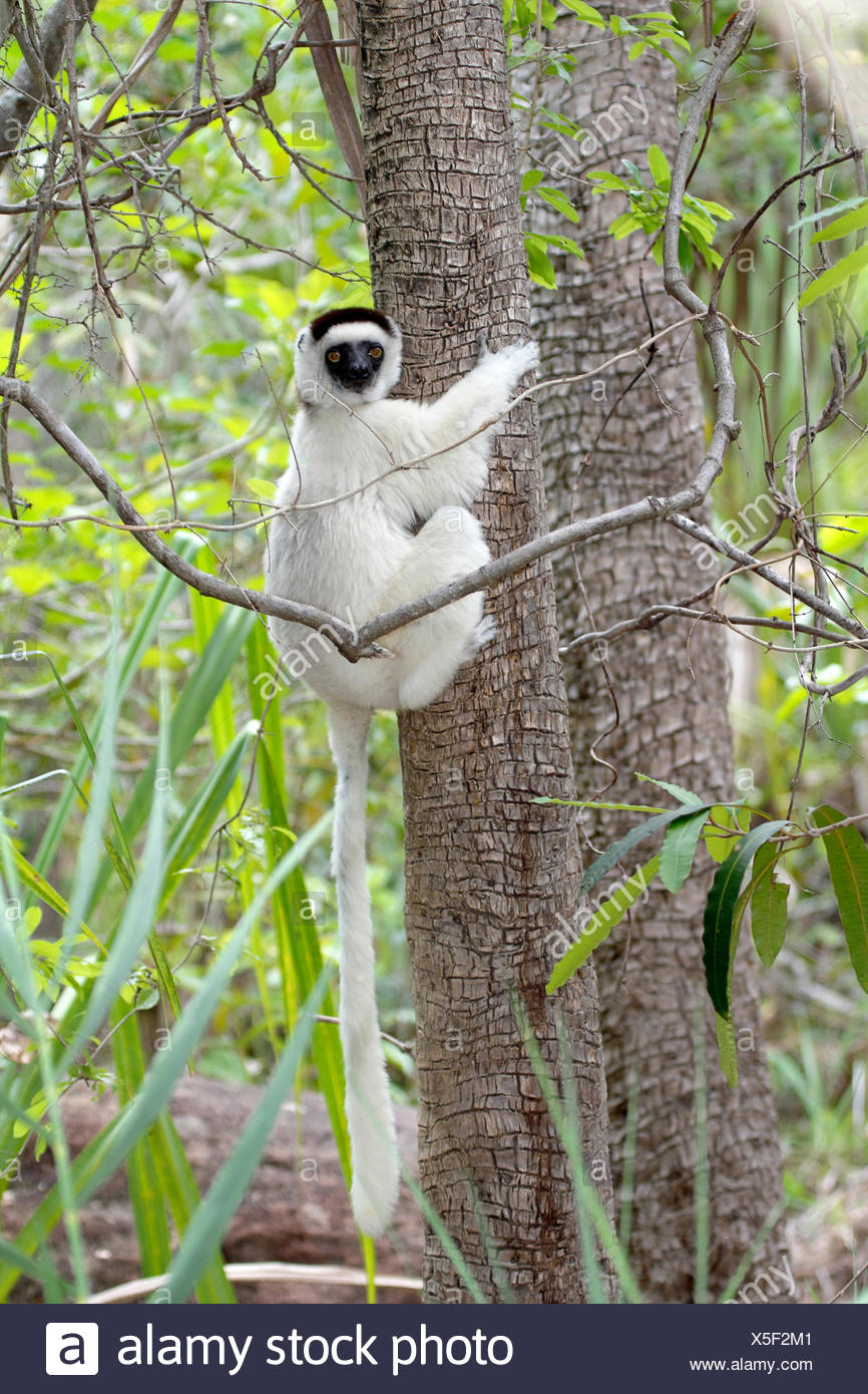 Verreaux's sifaka (Propithecus verreauxi), clinging to a tree trunk, Madagascar, Isalo National Park - Stock Image