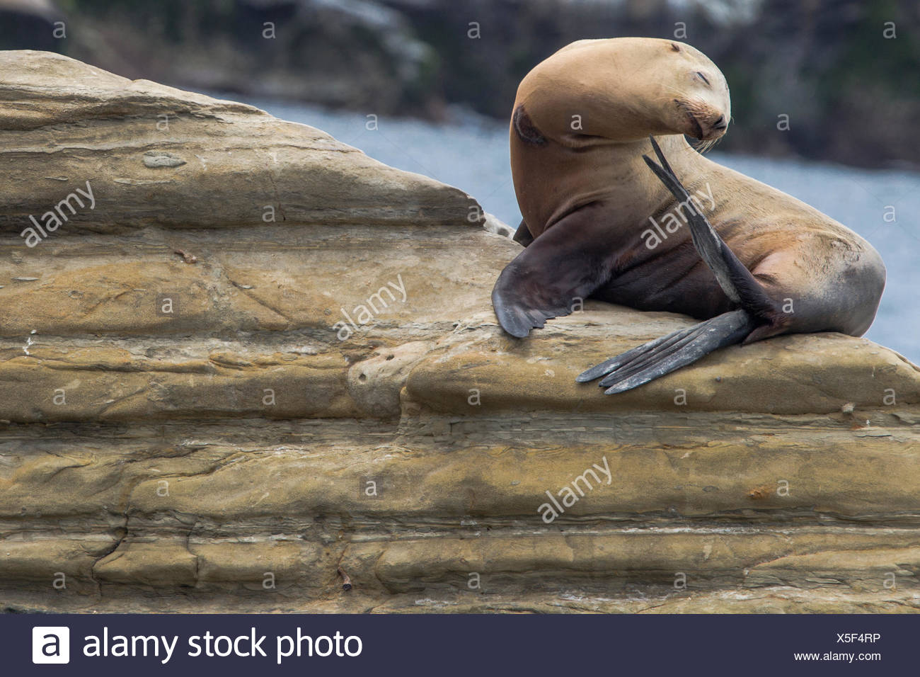A California sea lion, Zalophus californianus, basking on the rocks at Boomer Beach. - Stock Image