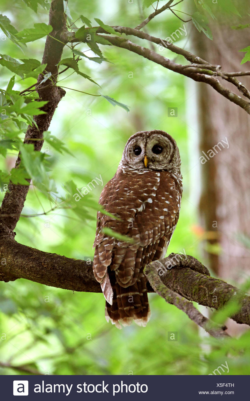 barred owl (Strix varia), sitting in a tree , USA, Florida, Corkscrew Swamp Stock Photo