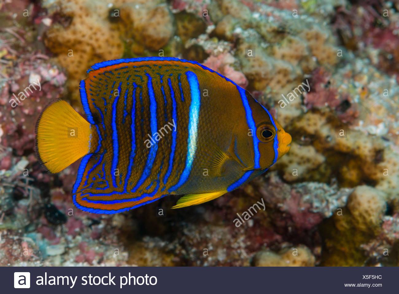 Juvenile King Angelfish, Holacanthus passer, La Paz, Baja California Sur, Mexico - Stock Image