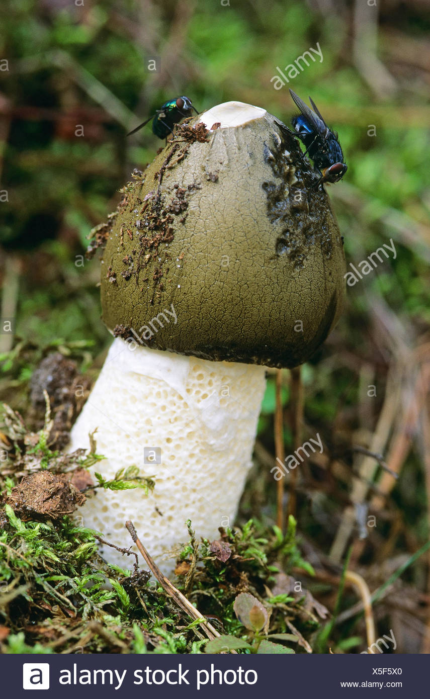 stinkhorn (Phallus impudicus), with flys, Germany - Stock Image