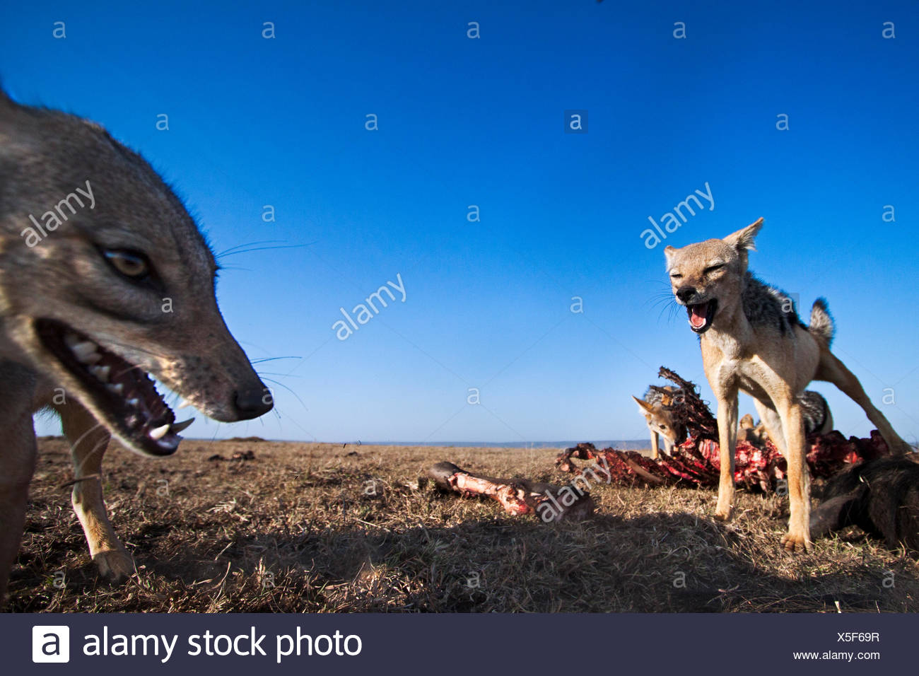 Black-backed jackals (Canis mesomelas) feeding on wildebeest carcass. Masai Mara National Reserve Kenya. Taken remote wide angle camera. - Stock Image