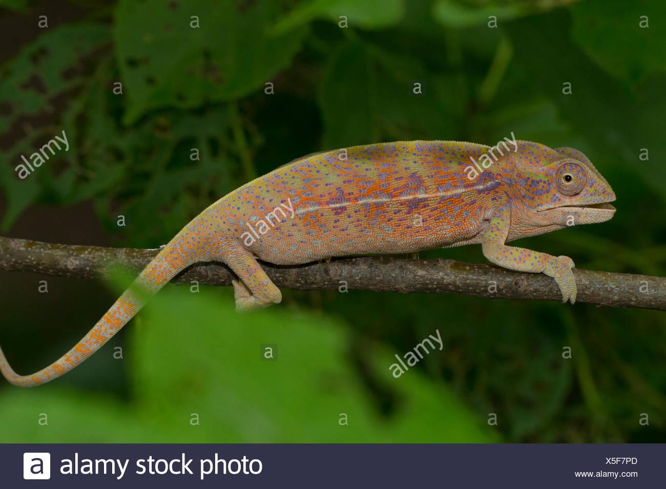 Chameleon (Furcifer major), female, Isalo National Park, Madagascar - Stock Image