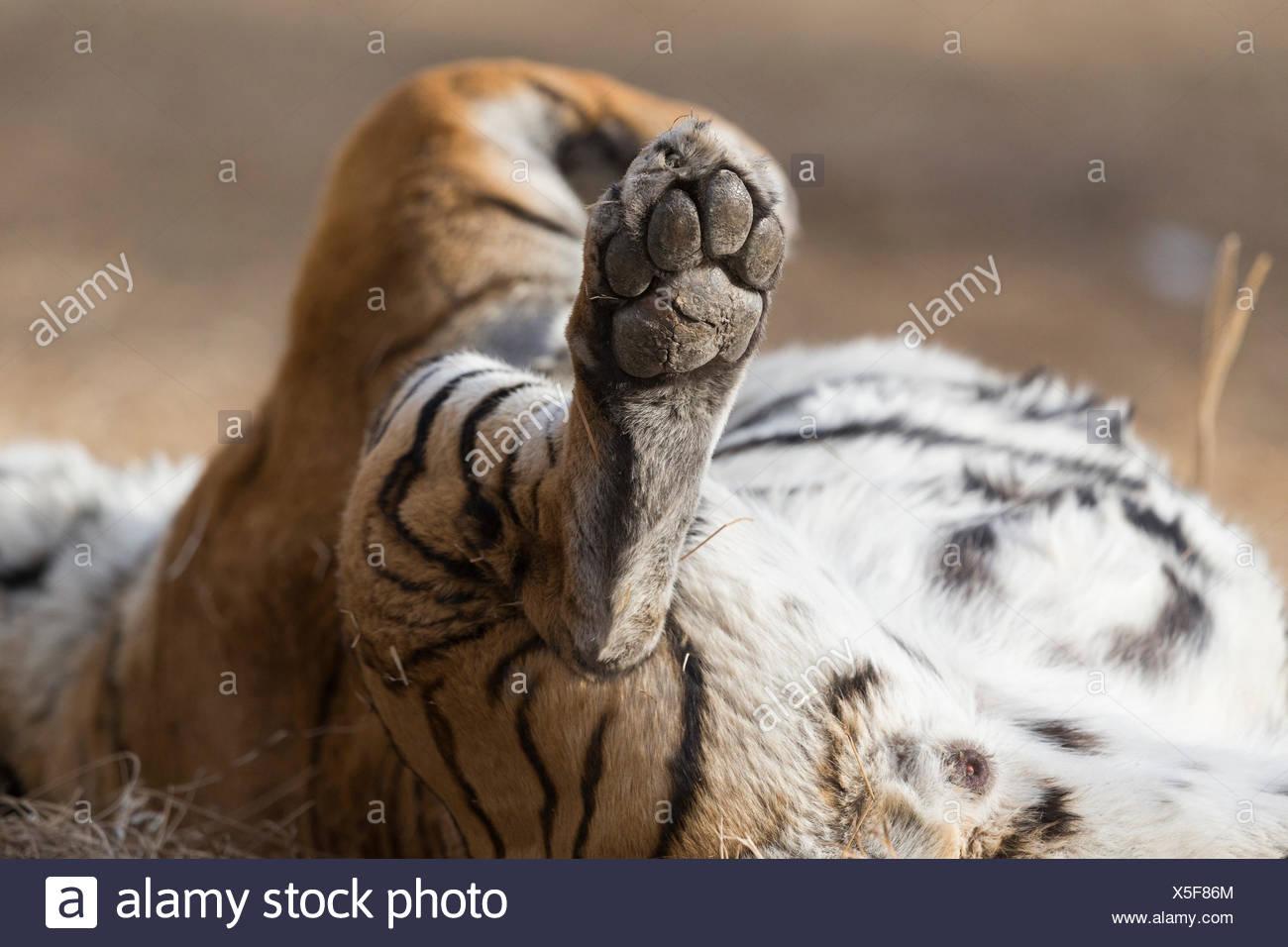 White Asian (Bengal) Tiger (Panthera tigris tigris),  hindlegs, paws, sole of foot visible - Stock Image