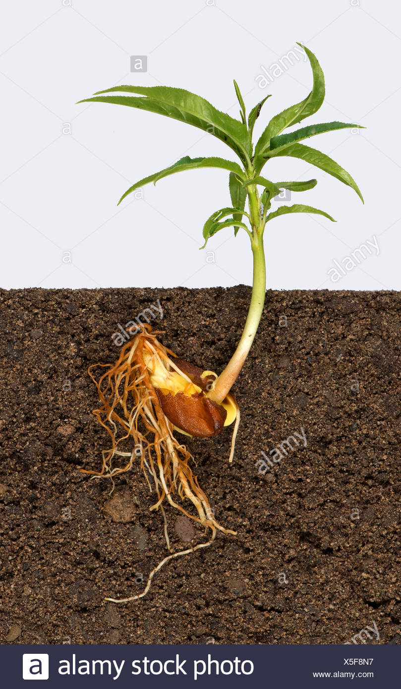 Roots and your leaves of a seedling peach tree growing from seed in one half of a peach stone - Stock Image