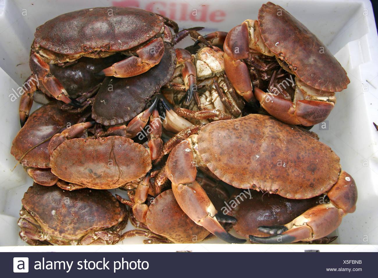 Taschenkrebse, Fang eines Fischerboots vor der Kueste Norwegens, Norwegen, Taschenkrebs (Cancer pagurus), Brachyura, Cancer, Can - Stock Image
