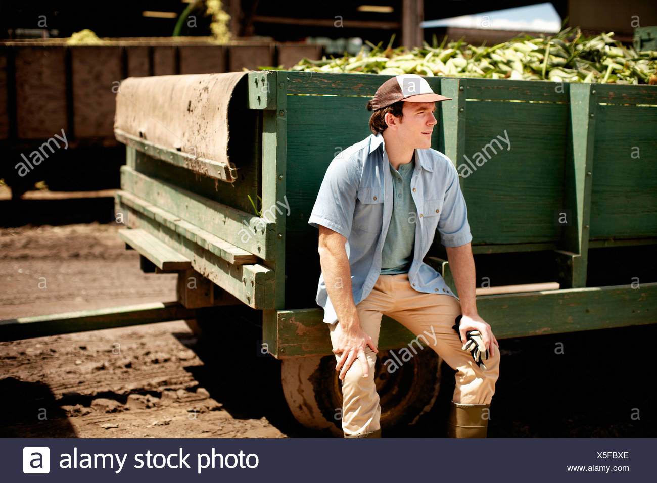 A trailer harvested corn cobs corn on cob. Organic food ready for distribution. Farmer sitting on trailer wheel resting. - Stock Image