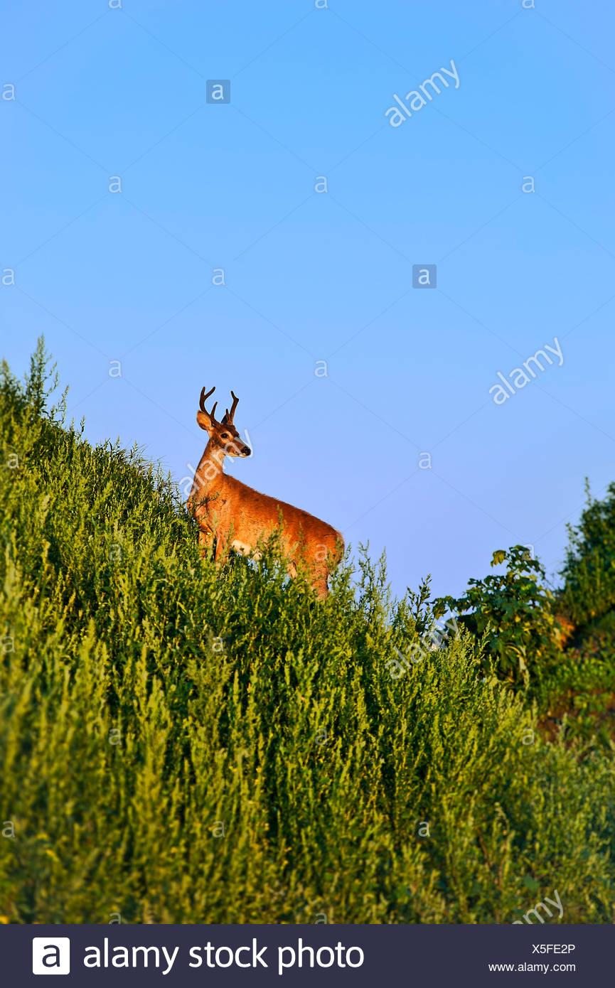 Deer buck - Stock Image