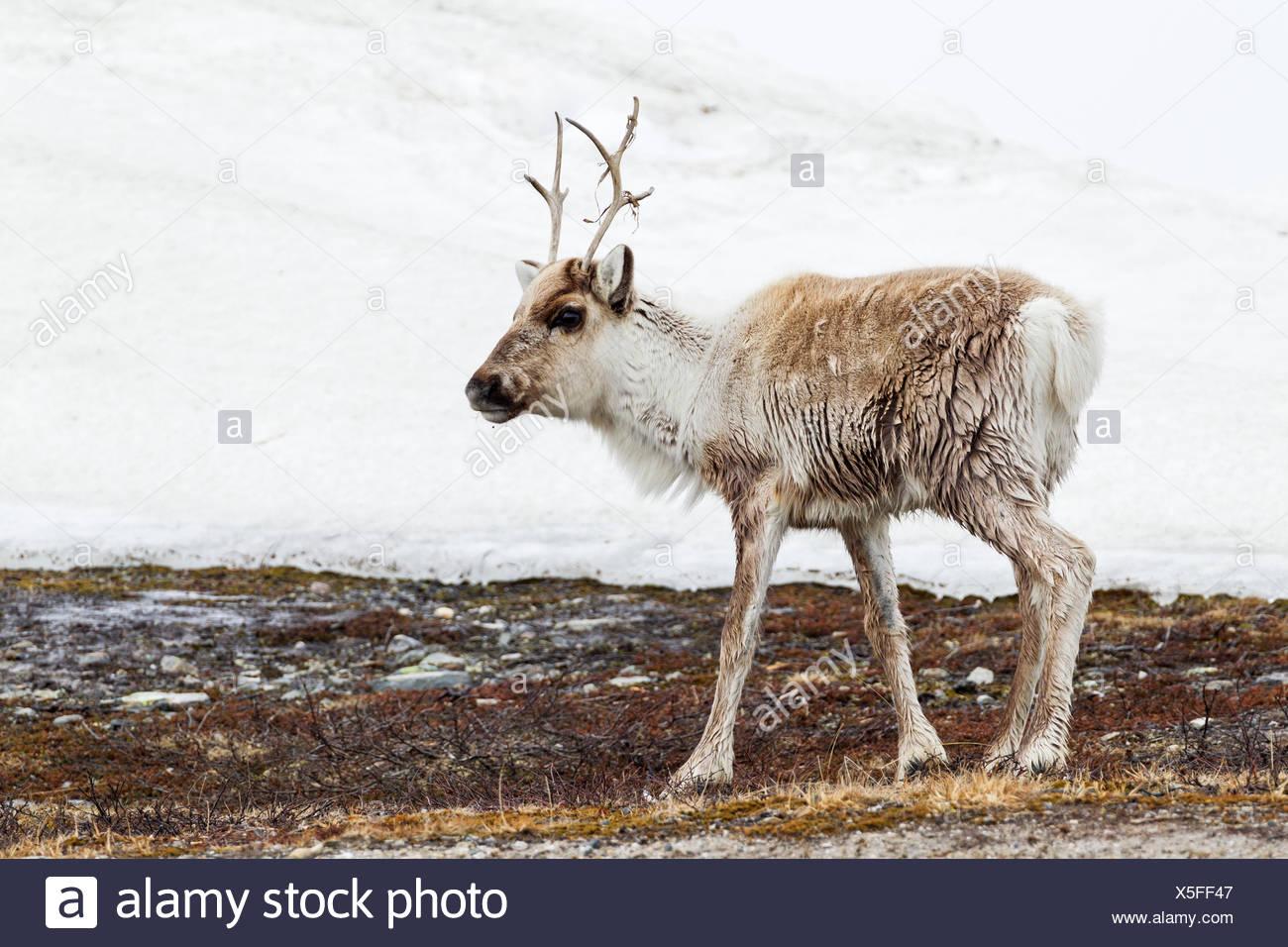 Reindeer (Rangifer tarandus), calf  in snowdrift - Stock Image