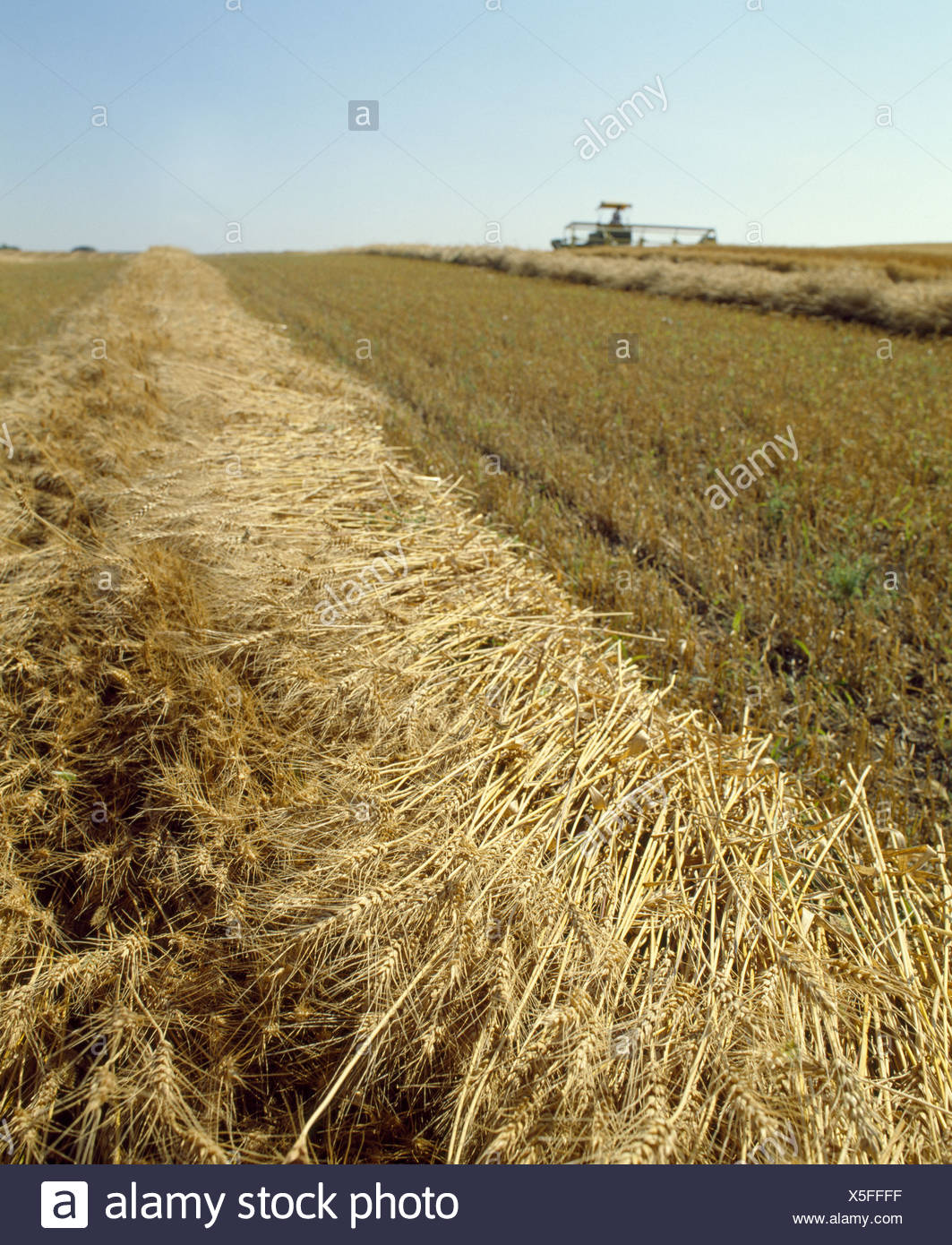 SWATHING EXCELLENT HARD RED SPRING WHEAT - Stock Image