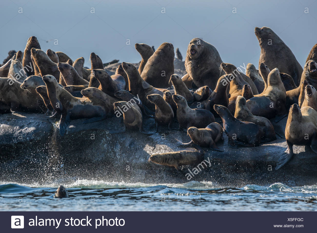 Stellar sea lions rest on Norris Rock. - Stock Image
