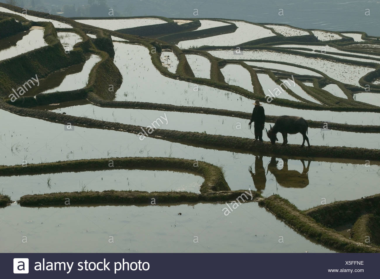 A farmer walks with his water buffalo on the edge of a terraced rice paddy, Yunnan Province, China. - Stock Image