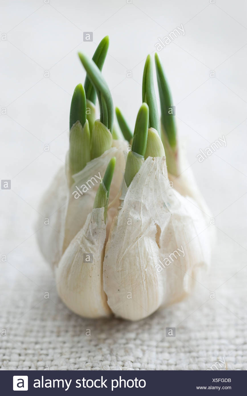 bulb garlic growing stock  bulb garlic growing