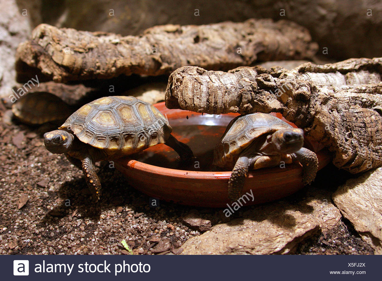 two turtles in a terrarium - Stock Image