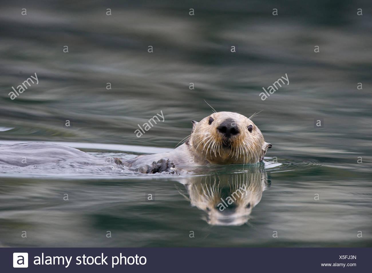A sea otter swims in Alaskan waters. - Stock Image