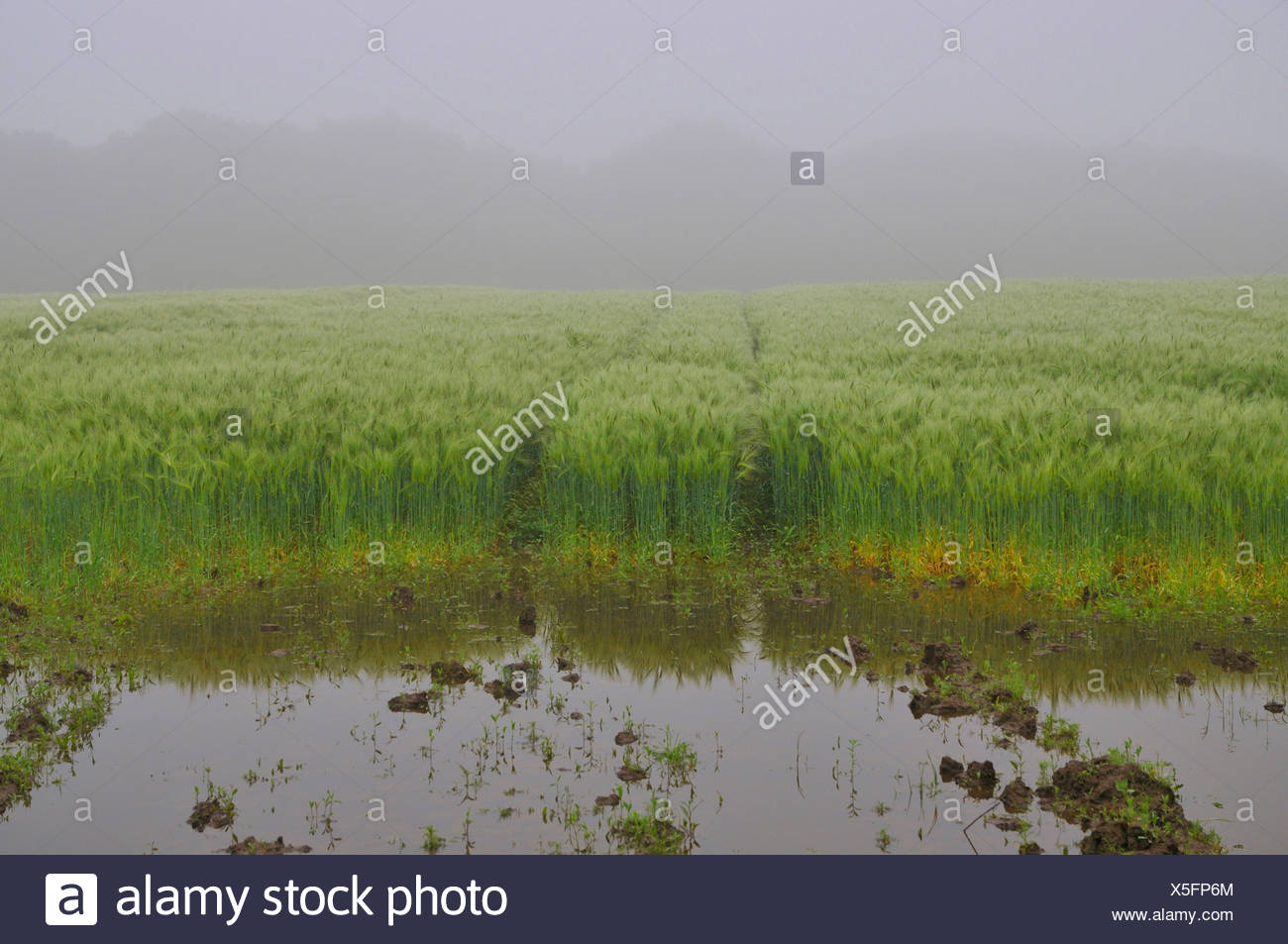 barley (Hordeum vulgare), puddle after heavy rain on a barley field, Germany, North Rhine-Westphalia, Ruhr Area, Castrop-Rauxel Stock Photo