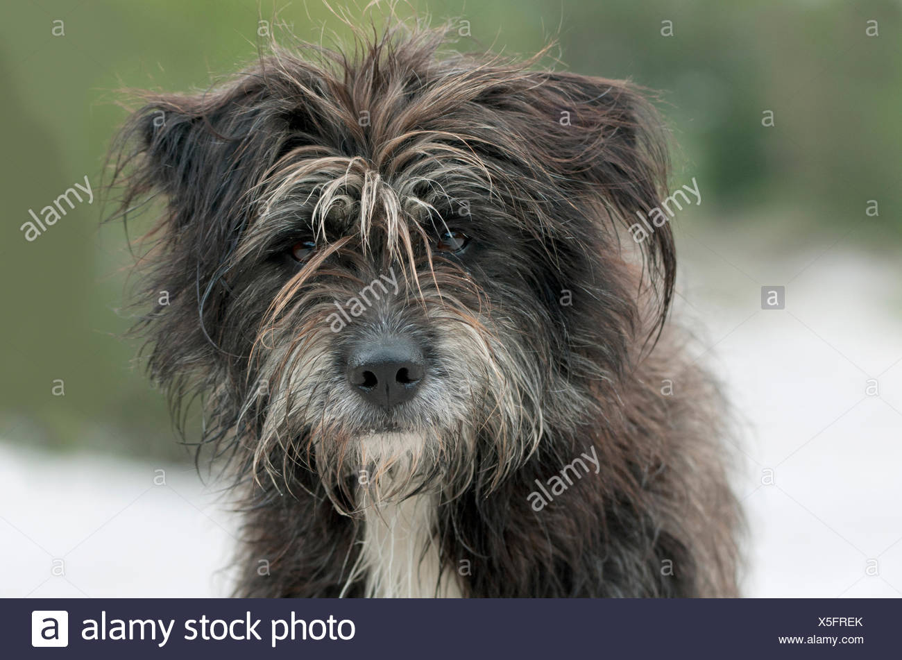 Pyrenean Shepherd, Berger des Pyrenees mixed breed (Canis lupus familiaris), portrait, Tyrol, Austria - Stock Image