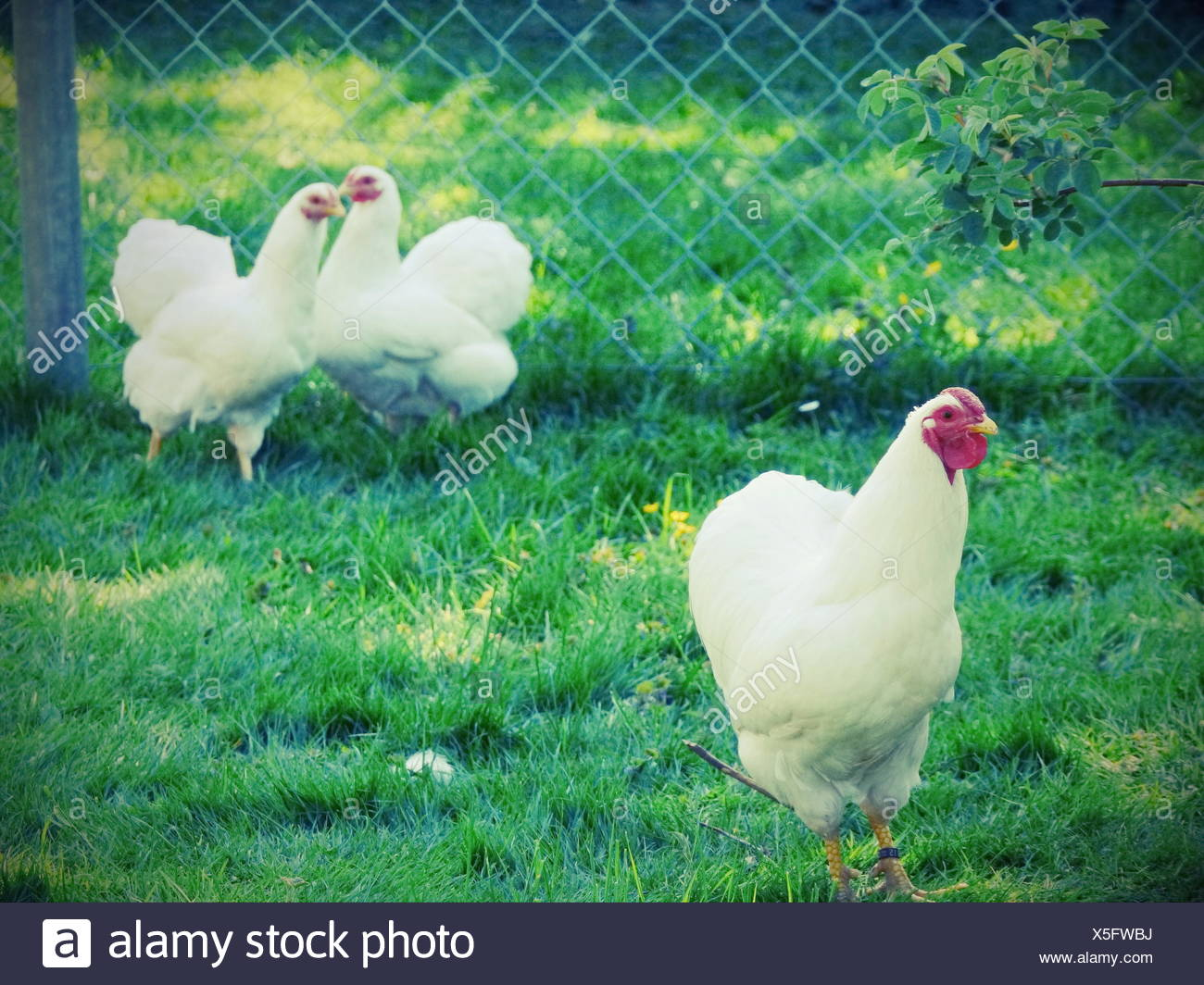 Hens On Green Field - Stock Image