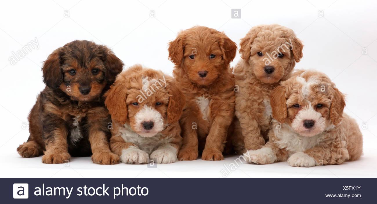 Five F1b Toy Goldendoodle Puppies Age 7 Weeks Stock Photo
