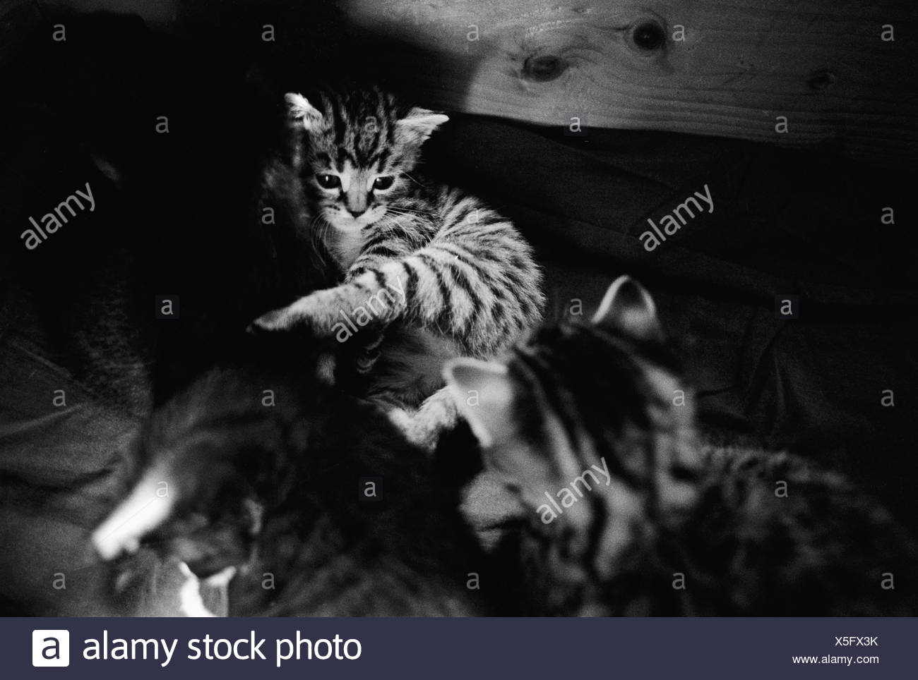 Two kittens looking at each other - Stock Image