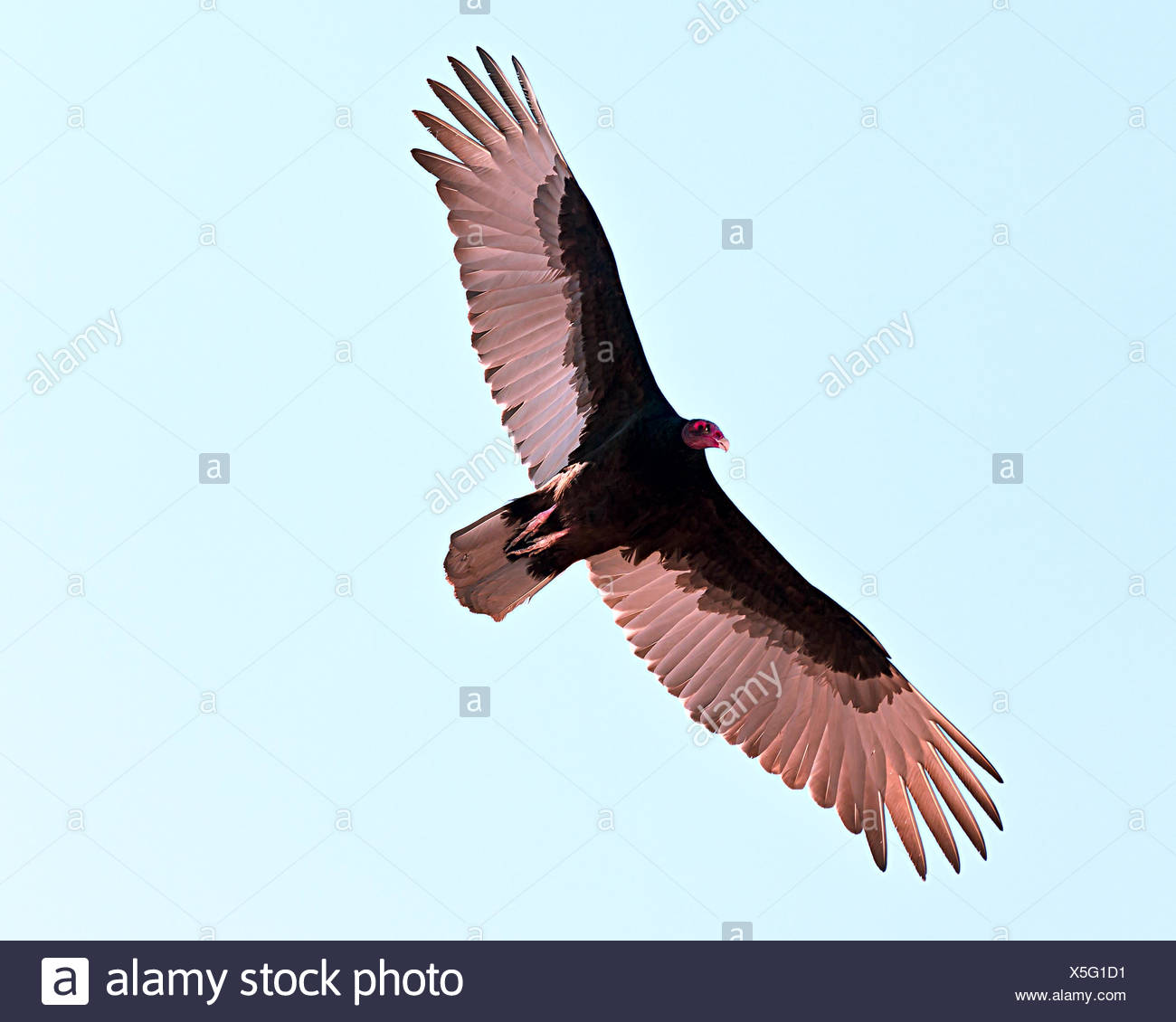 Turkey Vulture gliding in sky, Arizona, USA - Stock Image