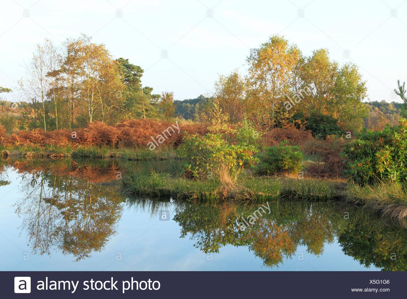 Dersingham Bog National Nature Reserve, designated a Site of Special Scientific Interest, mire, heath and woodland, SSI, Autumn, - Stock Image