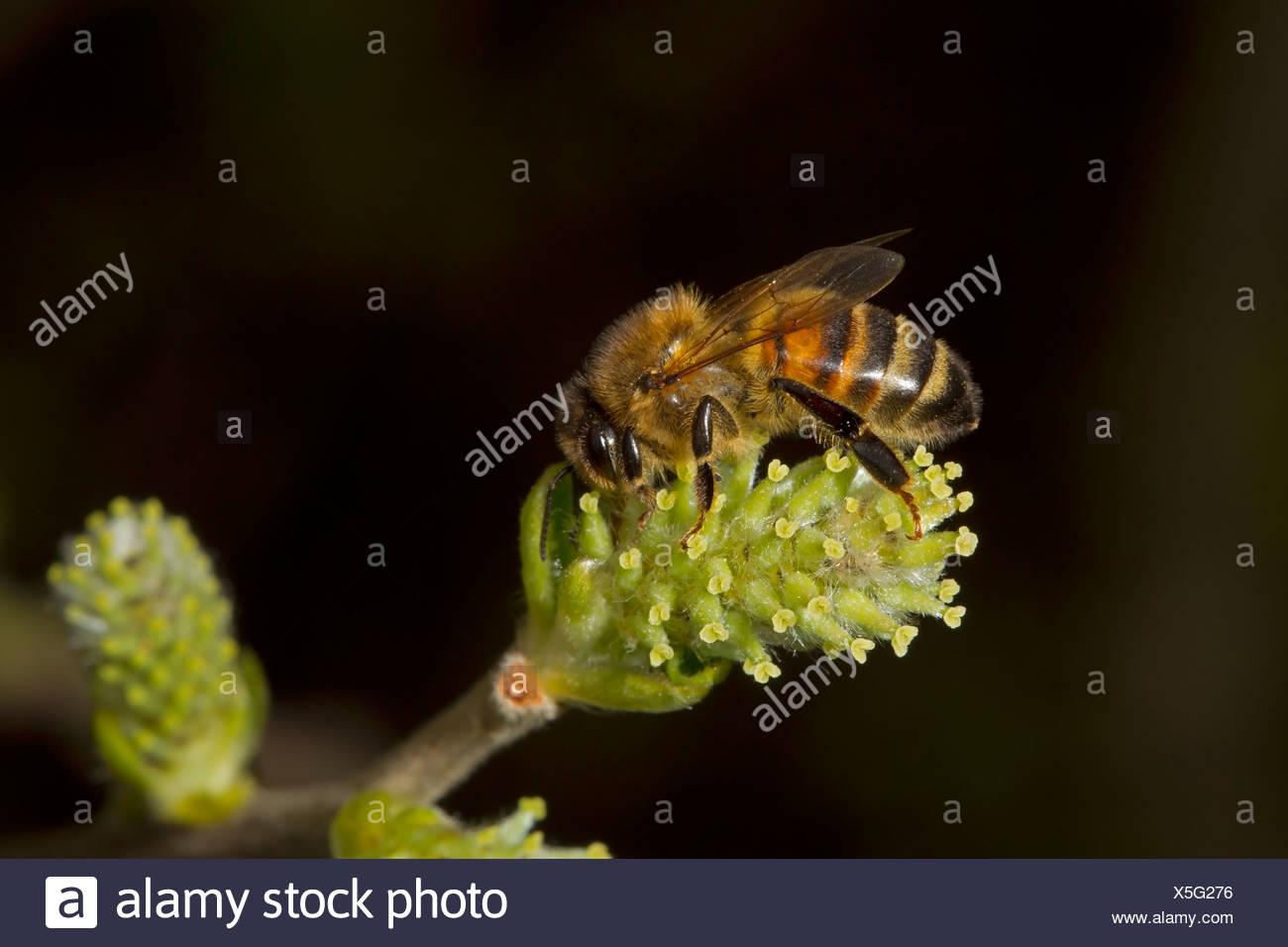 Honey Bee - Apis mellifera - Stock Image